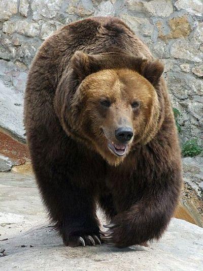 Ein brunbjørn i dyrehagen i Moskva (illustrasjonsfoto)